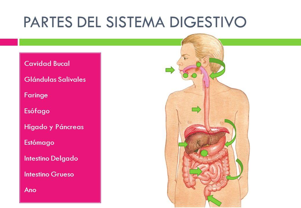 Asombroso Hechos Sobre El Sistema Digestivo Cresta - Anatomía de Las ...