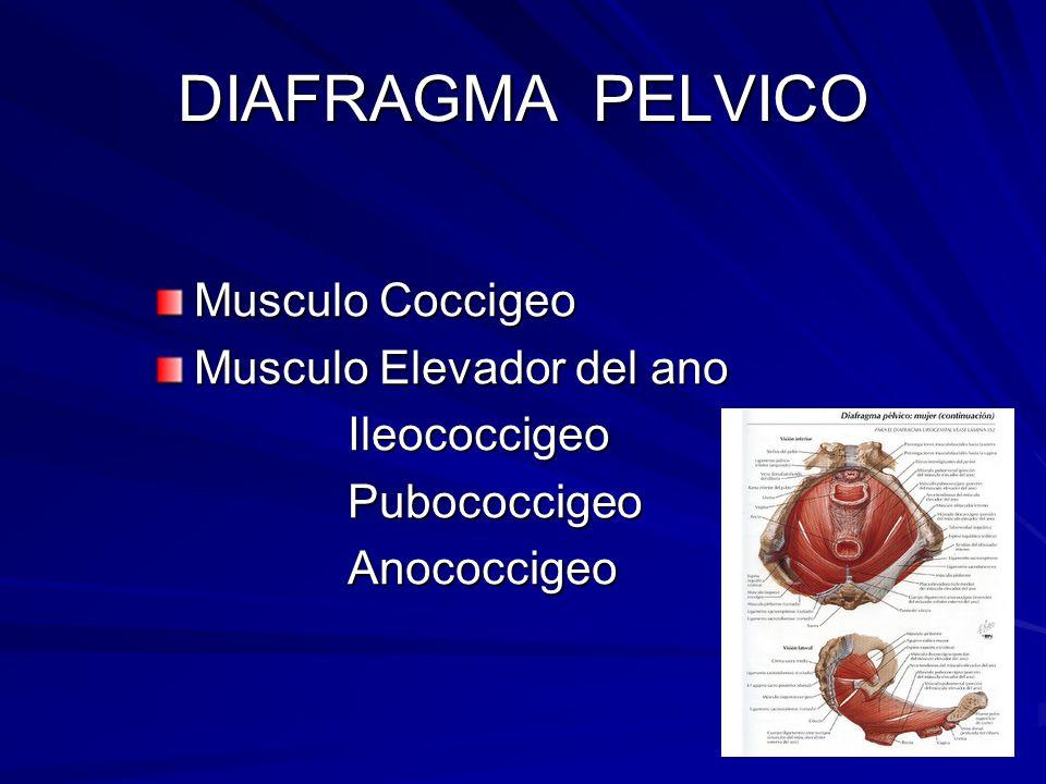 DIAFRAGMA PELVICO Musculo Coccigeo Musculo Elevador del ano