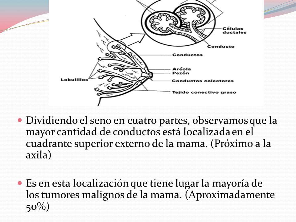 Dividiendo el seno en cuatro partes, observamos que la mayor cantidad de conductos está localizada en el cuadrante superior externo de la mama. (Próximo a la axila)