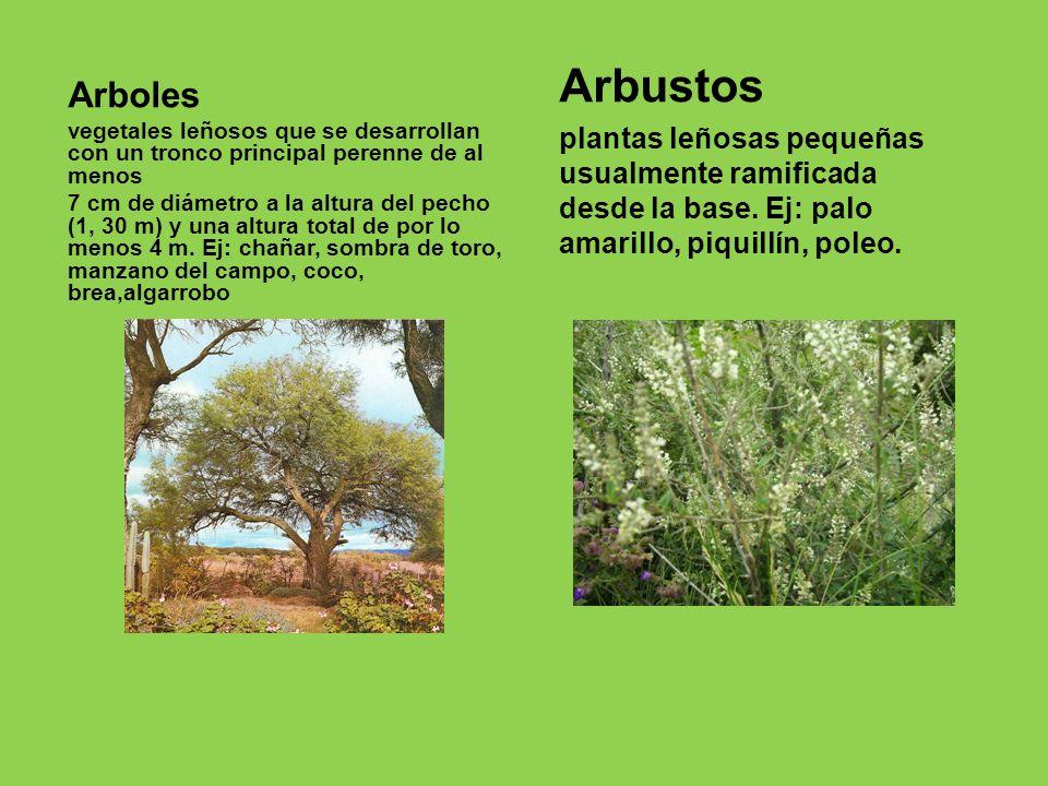 Nuestro rbol nativo el algarrobo ppt descargar for Cuales son los arboles perennes