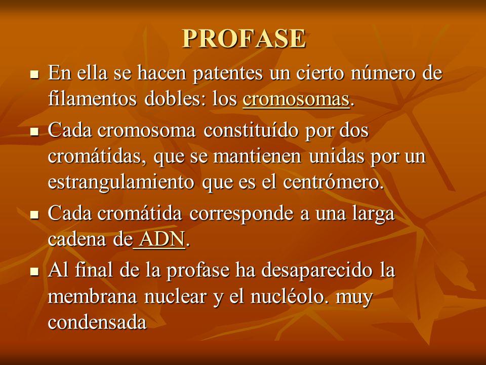 PROFASE En ella se hacen patentes un cierto número de filamentos dobles: los cromosomas.