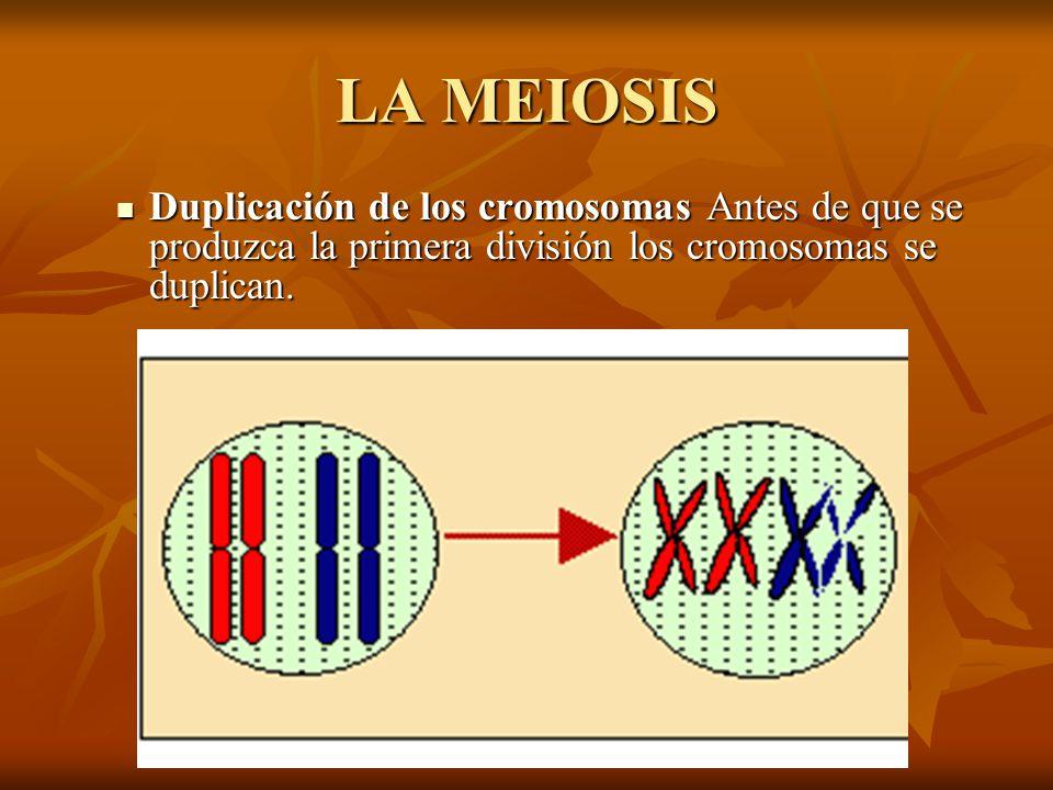LA MEIOSIS Duplicación de los cromosomas Antes de que se produzca la primera división los cromosomas se duplican.