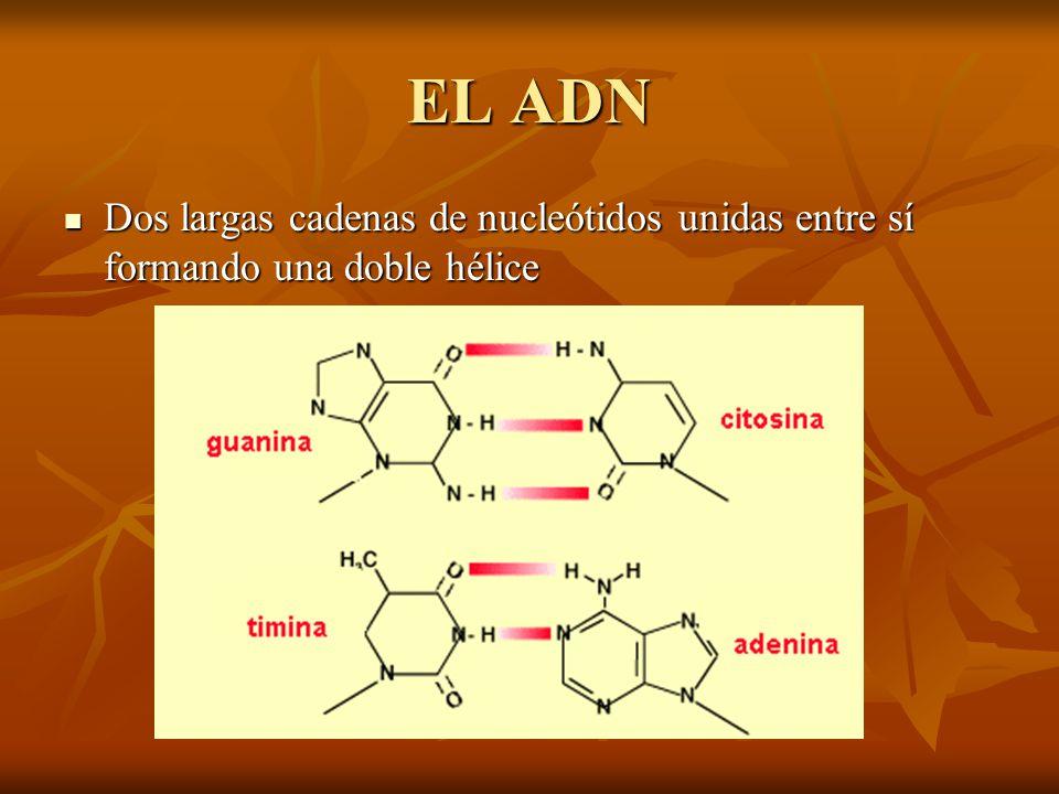 EL ADN Dos largas cadenas de nucleótidos unidas entre sí formando una doble hélice