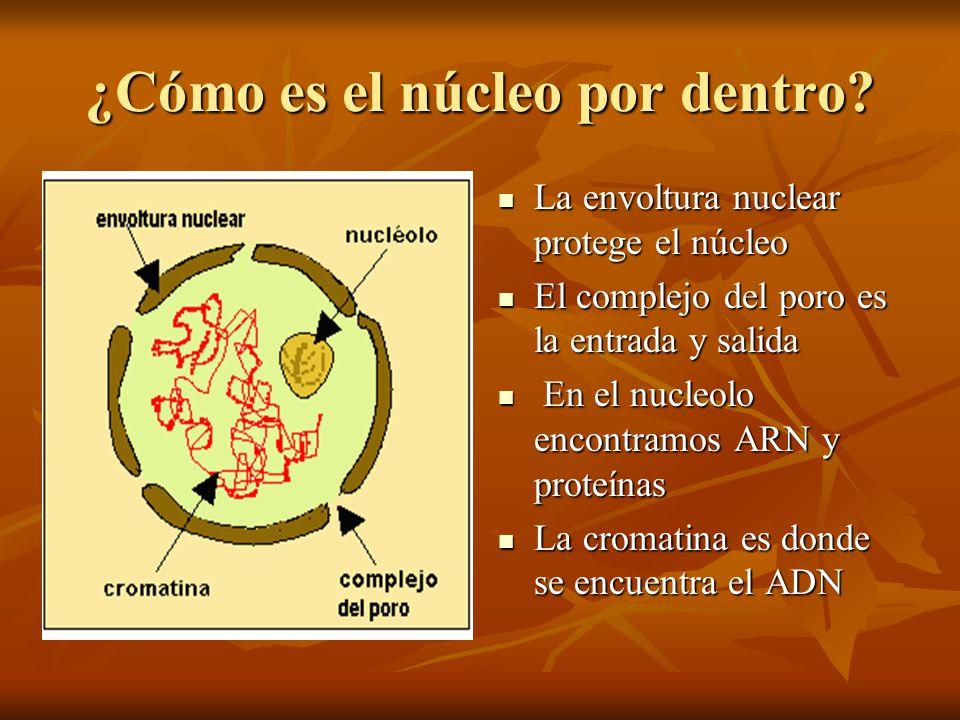 ¿Cómo es el núcleo por dentro