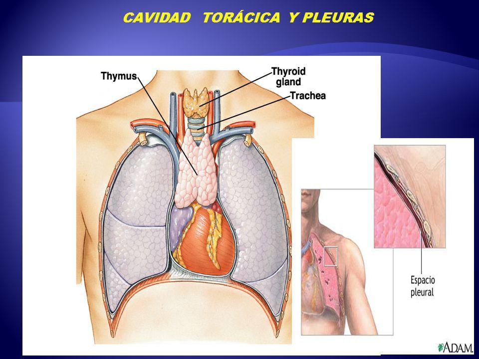 Lujo Cavidad Pleural Fotos - Anatomía y Fisiología del Cuerpo Humano ...