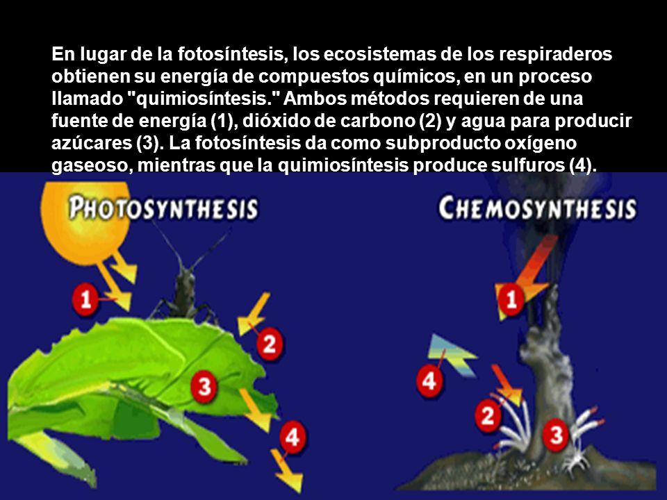 En lugar de la fotosíntesis, los ecosistemas de los respiraderos obtienen su energía de compuestos químicos, en un proceso llamado quimiosíntesis. Ambos métodos requieren de una fuente de energía (1), dióxido de carbono (2) y agua para producir azúcares (3).
