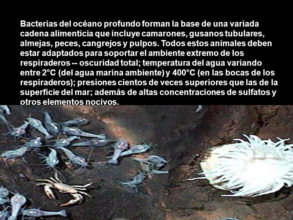 Bacterias del océano profundo forman la base de una variada cadena alimenticia que incluye camarones, gusanos tubulares, almejas, peces, cangrejos y pulpos.