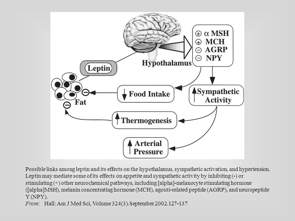 Possible links among leptin and its effects on the hypothalamus, sympathetic activation, and hypertension.