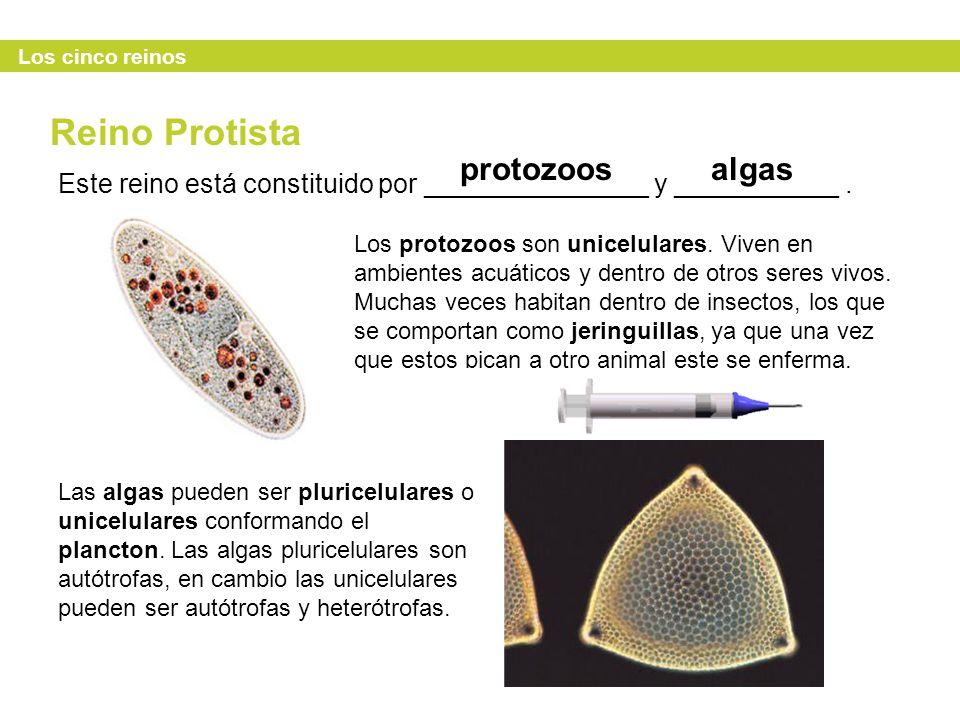 Reino Protista protozoos algas