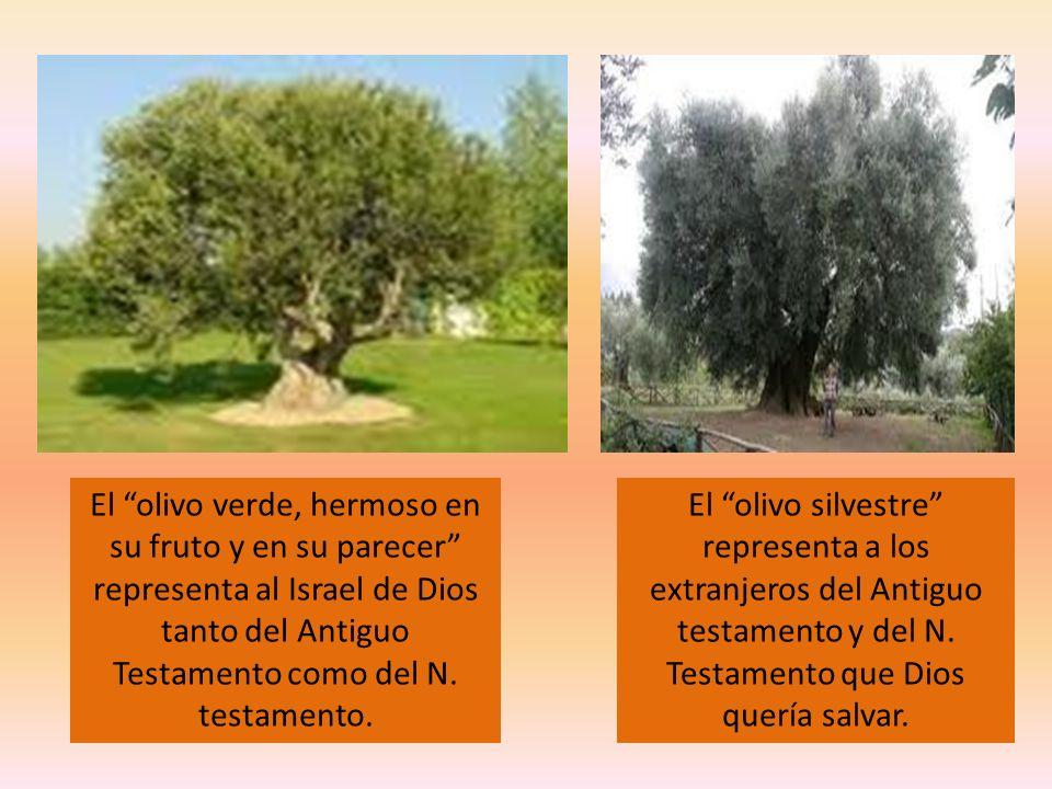 El olivo verde, hermoso en su fruto y en su parecer representa al Israel de Dios tanto del Antiguo Testamento como del N. testamento.