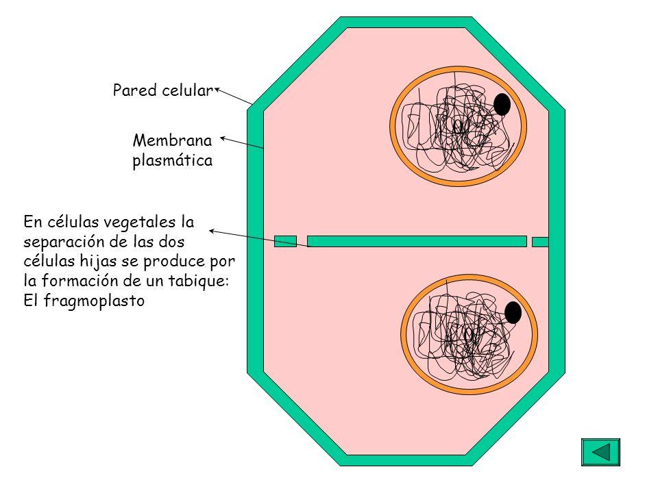 Pared celularMembrana. plasmática. En células vegetales la. separación de las dos. células hijas se produce por.