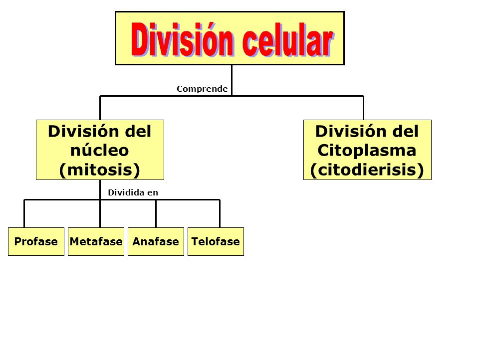 División del núcleo (mitosis) División del Citoplasma (citodierisis)