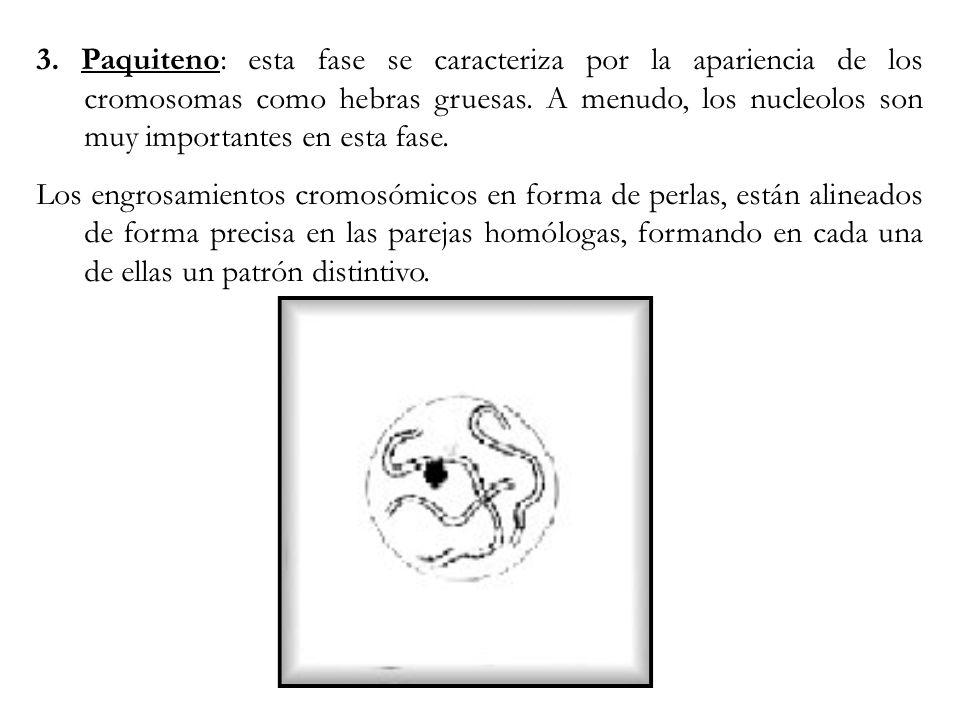 3. Paquiteno: esta fase se caracteriza por la apariencia de los cromosomas como hebras gruesas. A menudo, los nucleolos son muy importantes en esta fase.