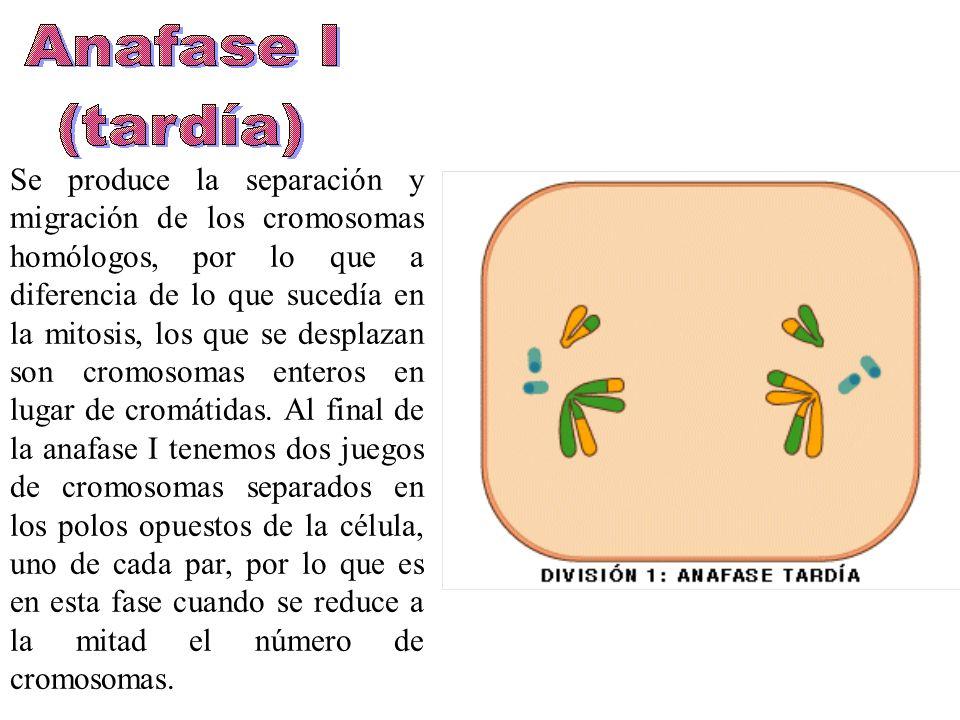Se produce la separación y migración de los cromosomas homólogos, por lo que a diferencia de lo que sucedía en la mitosis, los que se desplazan son cromosomas enteros en lugar de cromátidas.