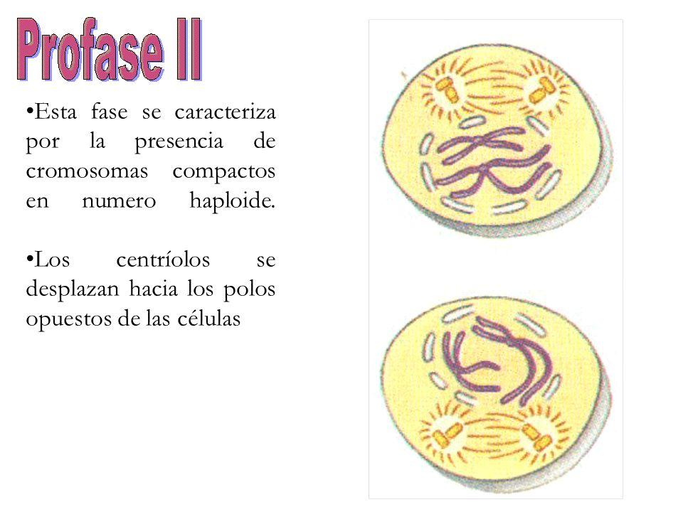 Esta fase se caracteriza por la presencia de cromosomas compactos en numero haploide.