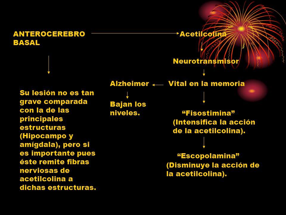 ANTEROCEREBRO BASALAcetilcolina. Neurotransmisor. Alzheimer. Vital en la memoria.