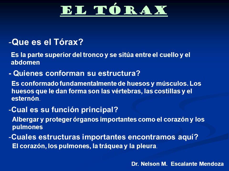 El Tórax Que es el Tórax - Quienes conforman su estructura