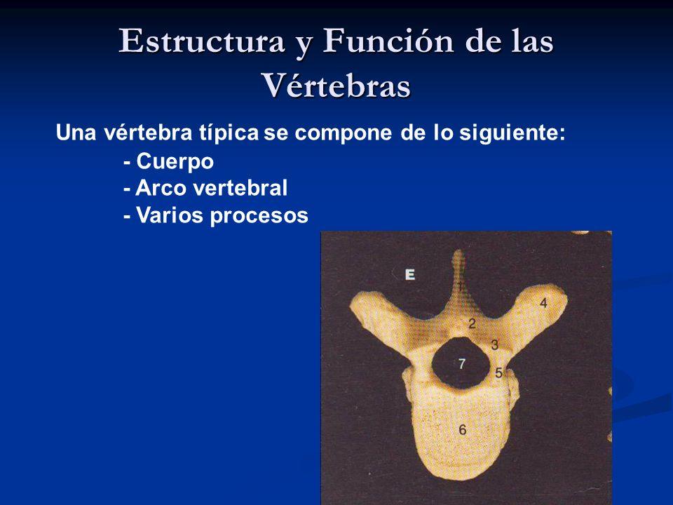 Estructura y Función de las Vértebras