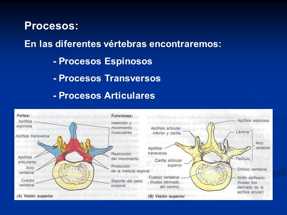 Procesos: En las diferentes vértebras encontraremos:
