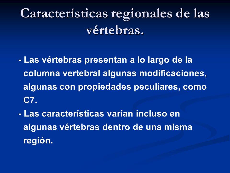 Características regionales de las vértebras.