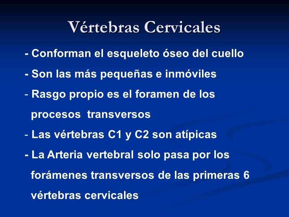 Vértebras Cervicales - Conforman el esqueleto óseo del cuello