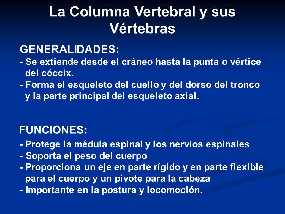 La Columna Vertebral y sus Vértebras