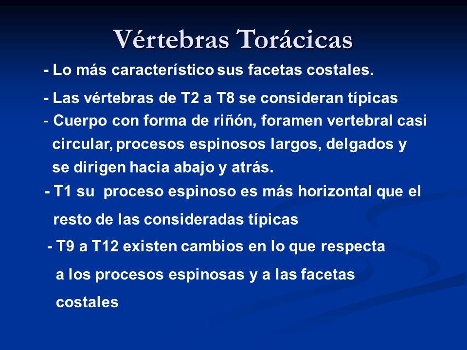 Vértebras Torácicas - Lo más característico sus facetas costales.