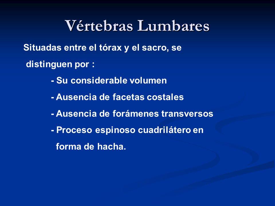 Vértebras Lumbares Situadas entre el tórax y el sacro, se