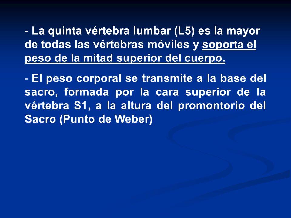 La quinta vértebra lumbar (L5) es la mayor de todas las vértebras móviles y soporta el peso de la mitad superior del cuerpo.