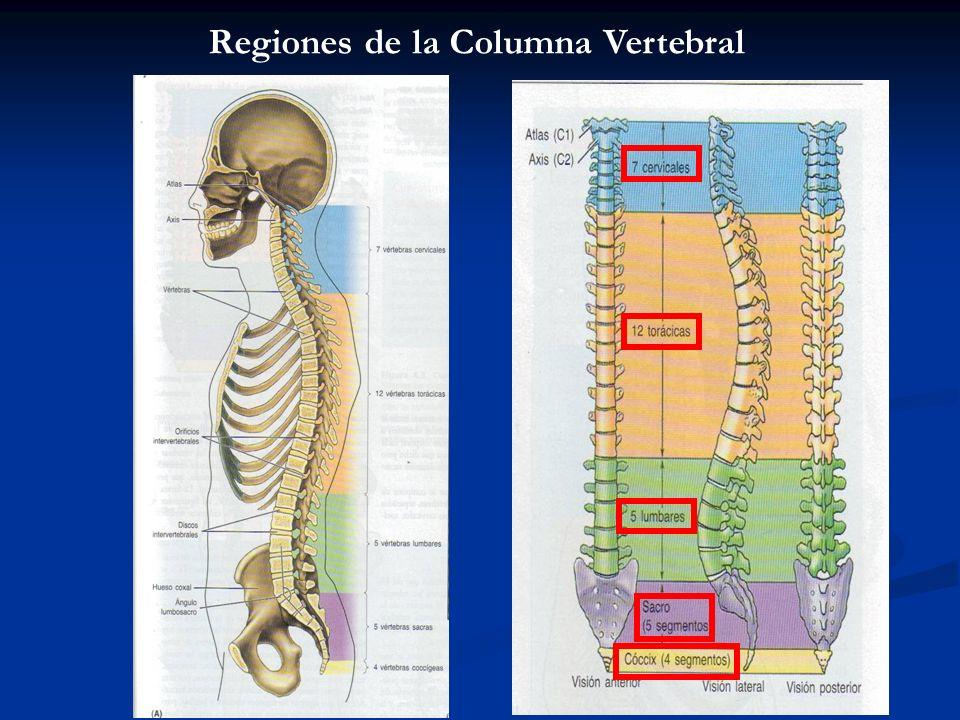 Regiones de la Columna Vertebral