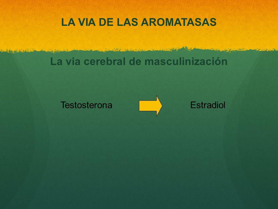 LA VIA DE LAS AROMATASAS La via cerebral de masculinización