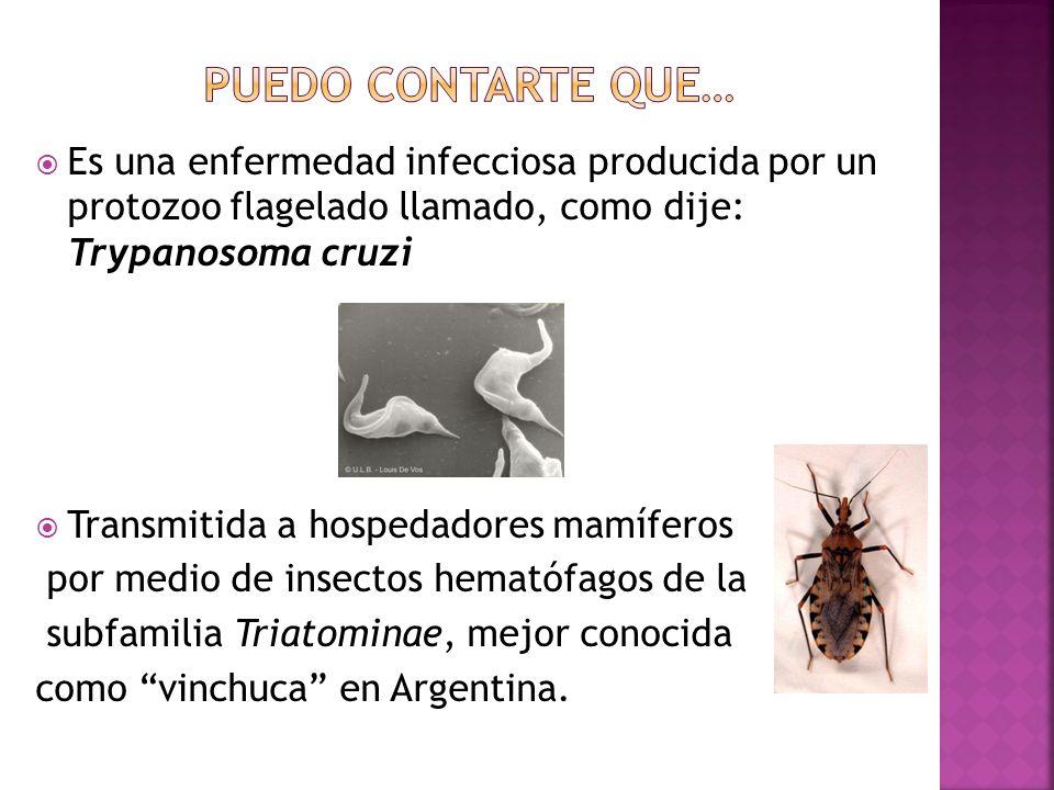 Puedo contarte que… Es una enfermedad infecciosa producida por un protozoo flagelado llamado, como dije: Trypanosoma cruzi.