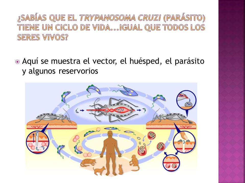 ¿Sabías que el Trypanosoma cruzi (parásito) tiene un ciclo de vida