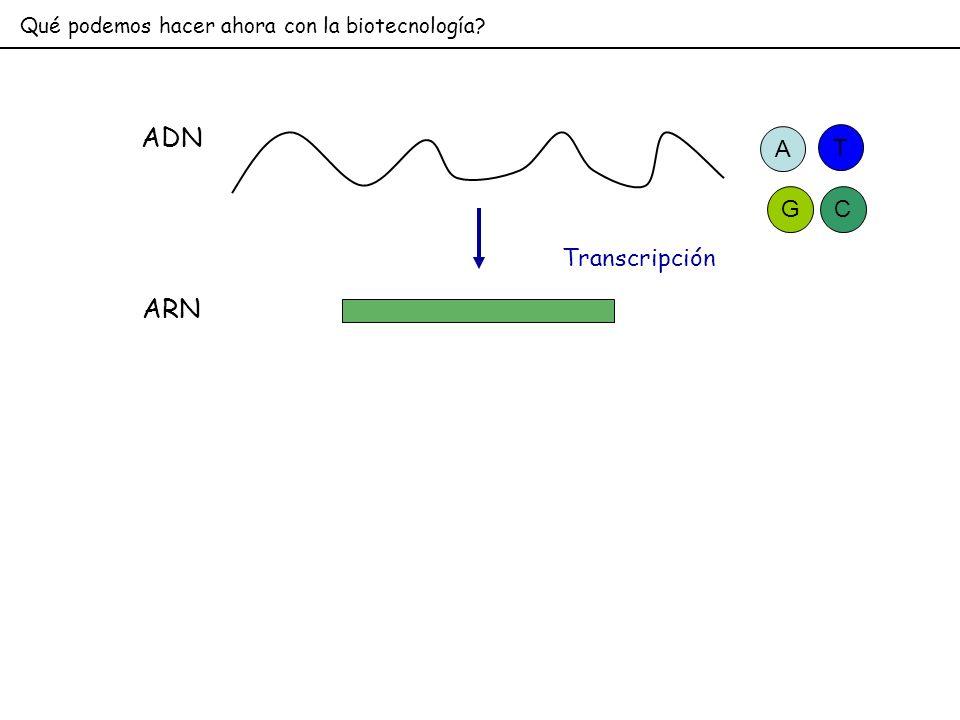 ADN ARN Transcripción A T G C