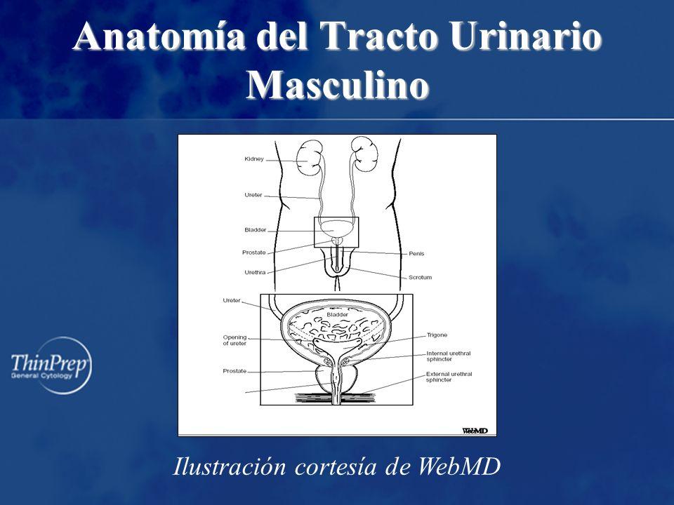 Anatomía del Tracto Urinario Masculino