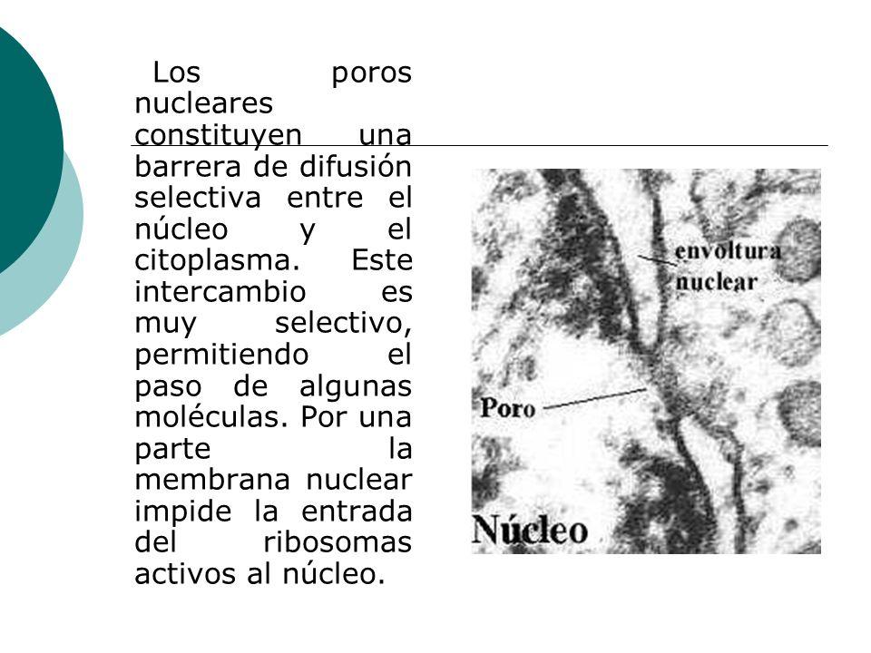 Los poros nucleares constituyen una barrera de difusión selectiva entre el núcleo y el citoplasma.