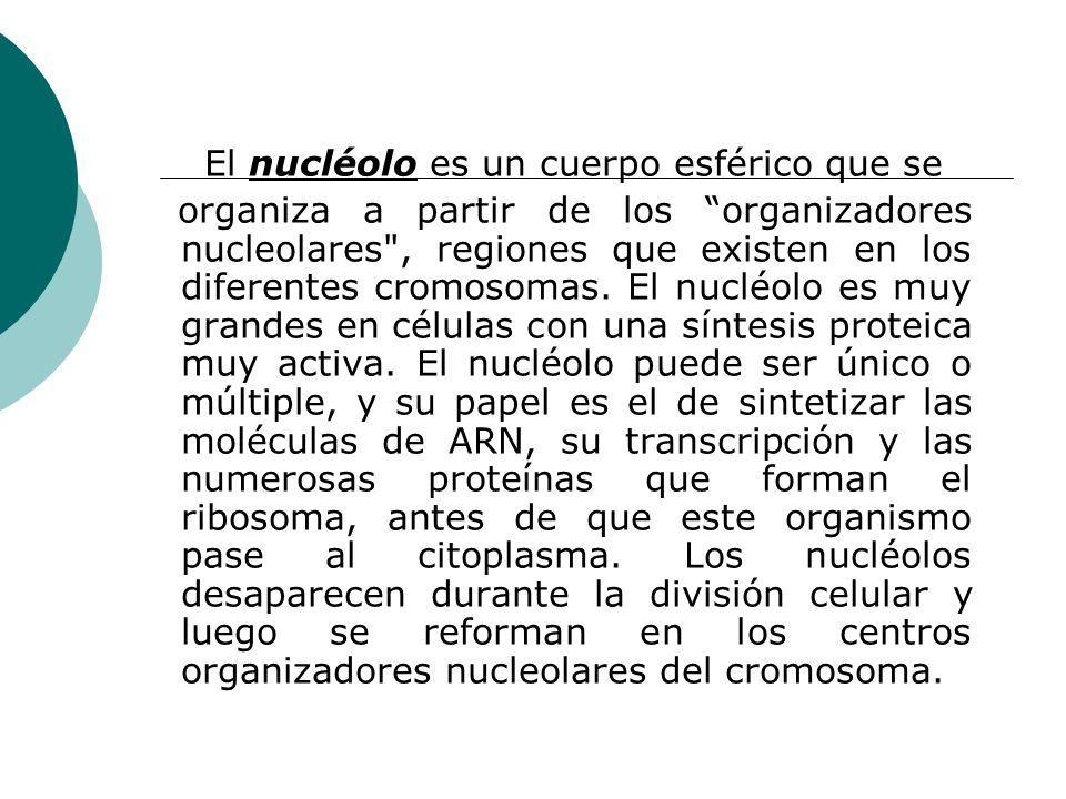 El nucléolo es un cuerpo esférico que se