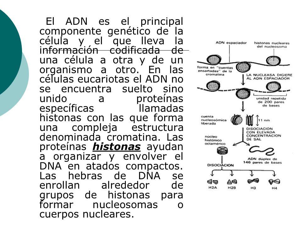 El ADN es el principal componente genético de la célula y el que lleva la información codificada de una célula a otra y de un organismo a otro.