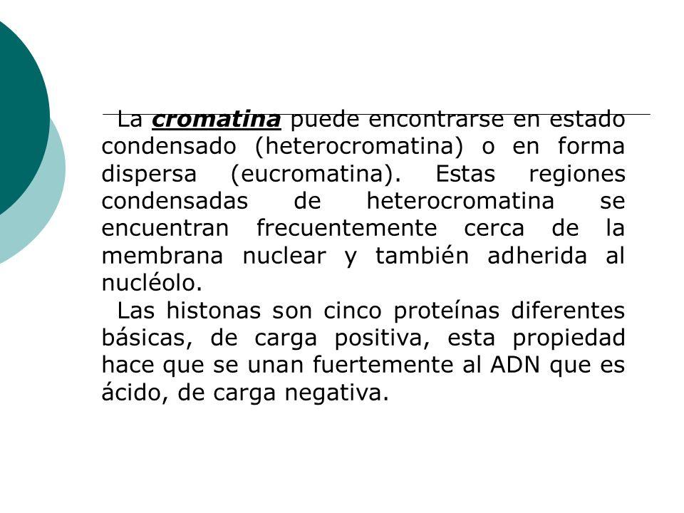 La cromatina puede encontrarse en estado condensado (heterocromatina) o en forma dispersa (eucromatina). Estas regiones condensadas de heterocromatina se encuentran frecuentemente cerca de la membrana nuclear y también adherida al nucléolo.