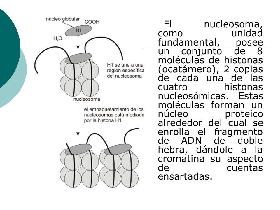 El nucleosoma, como unidad fundamental, posee un conjunto de 8 moléculas de histonas (ocatámero), 2 copias de cada una de las cuatro histonas nucleosómicas.