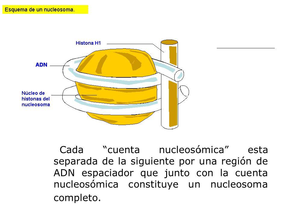 Cada cuenta nucleosómica esta separada de la siguiente por una región de ADN espaciador que junto con la cuenta nucleosómica constituye un nucleosoma completo.