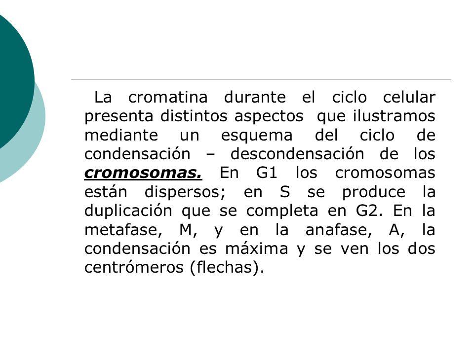 La cromatina durante el ciclo celular presenta distintos aspectos que ilustramos mediante un esquema del ciclo de condensación – descondensación de los cromosomas.