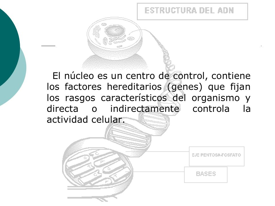 El núcleo es un centro de control, contiene los factores hereditarios (genes) que fijan los rasgos característicos del organismo y directa o indirectamente controla la actividad celular.