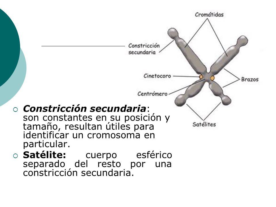 Constricción secundaria: son constantes en su posición y tamaño, resultan útiles para identificar un cromosoma en particular.