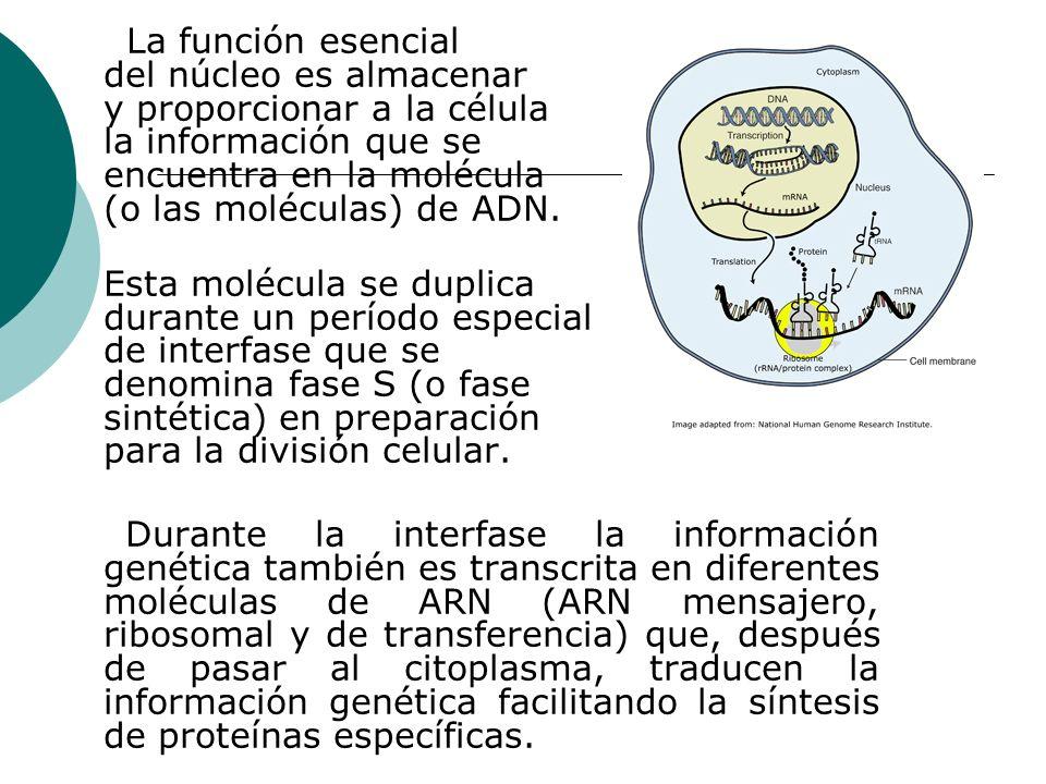 La función esencial del núcleo es almacenar y proporcionar a la célula la información que se encuentra en la molécula (o las moléculas) de ADN.