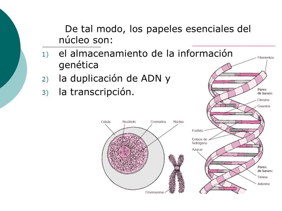 De tal modo, los papeles esenciales del núcleo son: