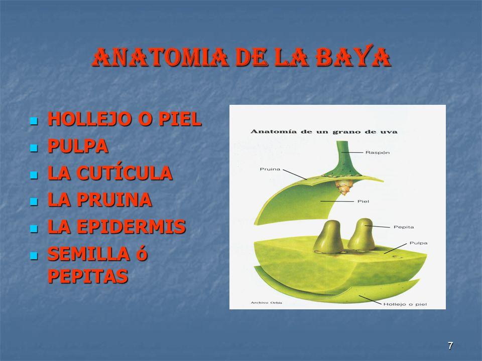 ANATOMIA DE LA BAYA HOLLEJO O PIEL PULPA LA CUTÍCULA LA PRUINA