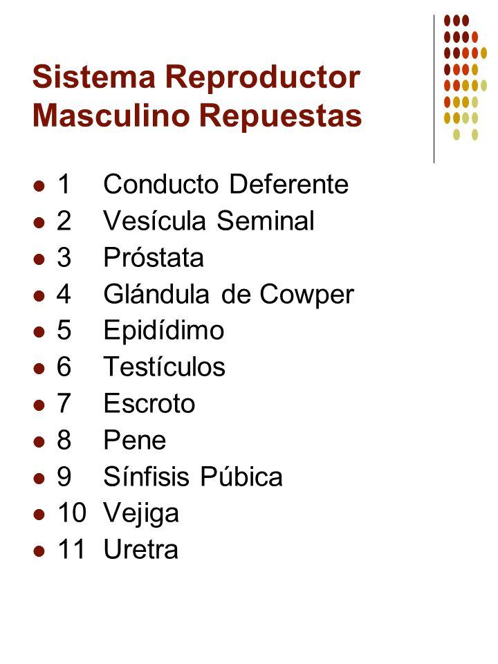 Sistema Reproductor Masculino Repuestas