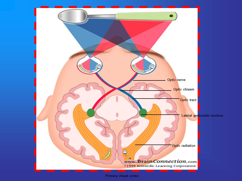Optic nerveOptic chiasm.Optic tract. Lateral geniculate nucleus.