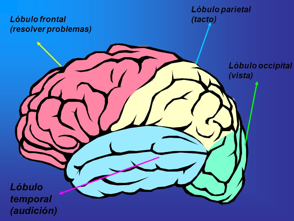 Lóbulo temporal (audición) Lóbulo parietal (tacto) Lóbulo frontal